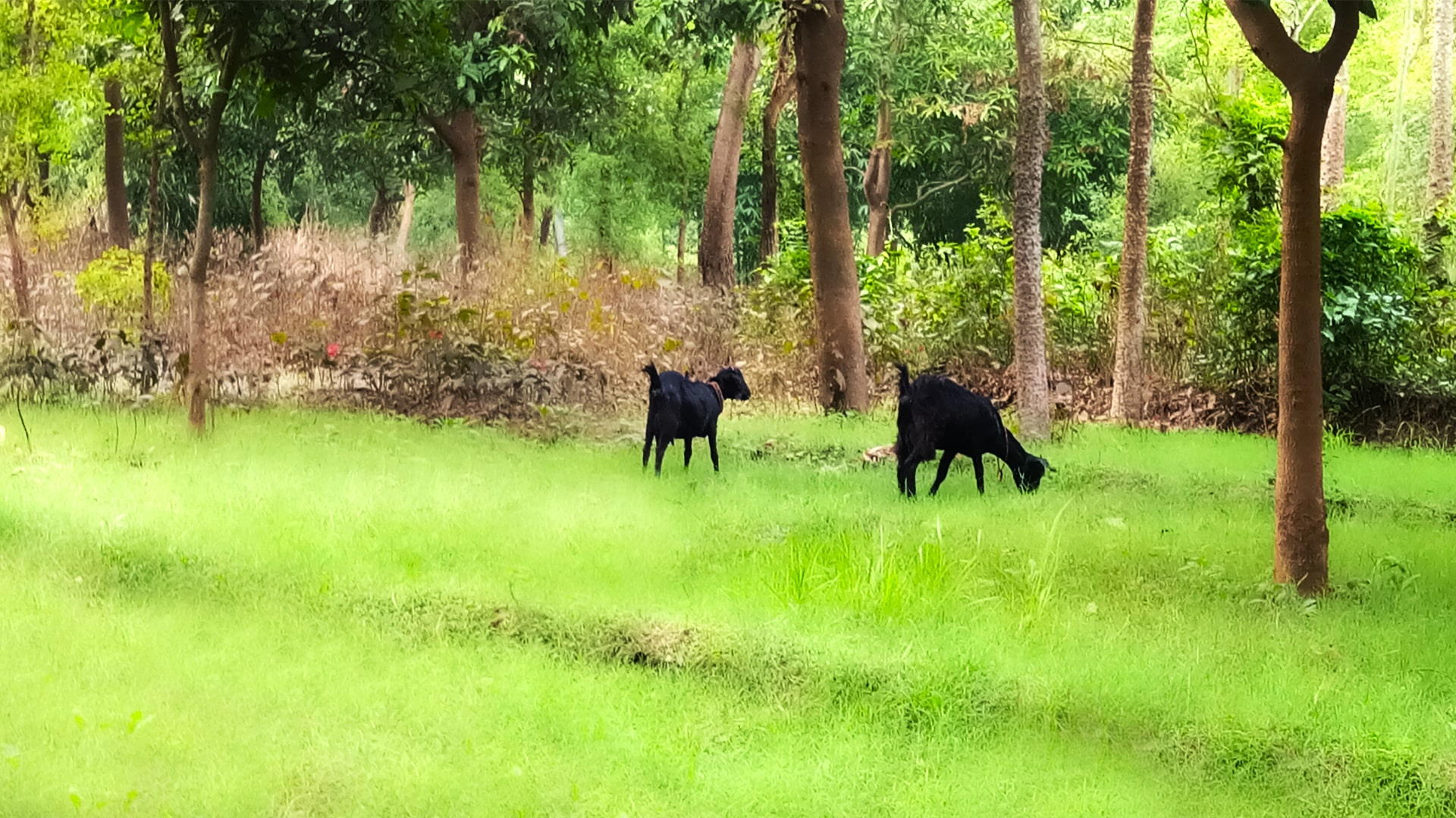Goat Eating Green Grass in Forest Photoshop Editing Photo