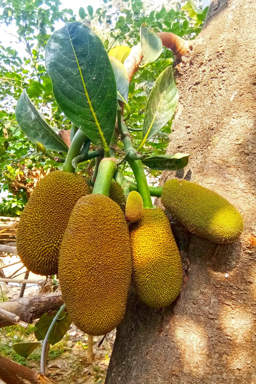 Jackfruit Tree for Photoshop Editing hd Online