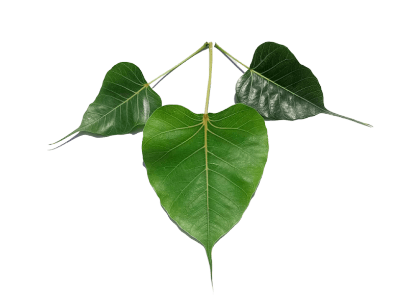 Pipal Leaf png Image